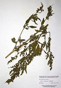Chenopodium album BW-1979-0920-0271.jpg
