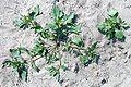 Chenopodium rubrum kz.jpg