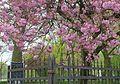 Cherry blossoms in Cinquantenaire - Brussels, Belgium - DSC08357.jpg