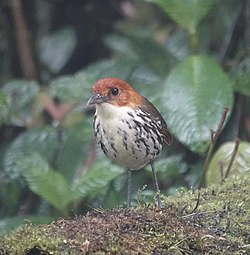 Chestnut-crowned antpitta (32905523277).jpg