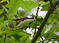 Chestnut-sided Warbler (so close to the photo Andy wanted, so close) (47022932464).jpg