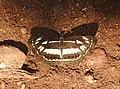 Chestnut-streaked Sailer Neptis jumbah by Dr. Raju Kasambe DSCN4947 (5).jpg
