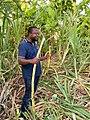 Chewing raw sugarcane.jpg