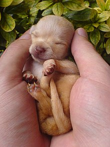 http://upload.wikimedia.org/wikipedia/commons/thumb/0/0b/Chihuahua_puppy_001.jpg/220px-Chihuahua_puppy_001.jpg