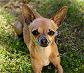 Chihuahuabland.jpg