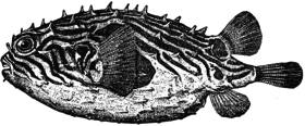 Chilomycterus geometricus illustration.png