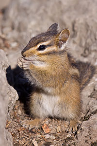 Chipmunk (by Steven Pavlov) 02.jpg