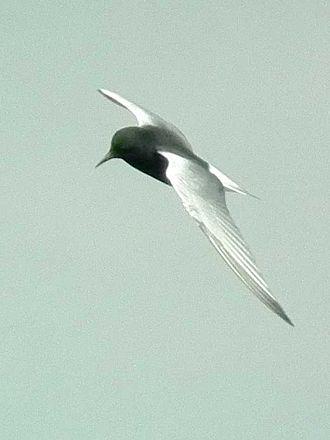 White-winged tern - Image: Chlidonias leucopterus Mai Po