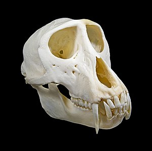 Green monkey - Skull of male
