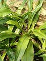 Chlorophytum macrophyllum BotGardBln07122011C.JPG
