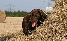 Chocolate labrador in straw (2878972184).jpg