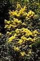 Choisya ternata sundance City of London Cemetery Golden Mexican Orange blossom hedge 1.jpg
