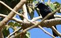 Chopi Blackbird (Gnorimopsar chopi) (48434128652).jpg
