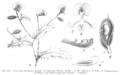 Chorizema ilicifolium Taub106.png