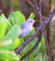 Christmas Warbler.png