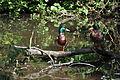 Chrudim-Ptačí-ostrovy2011-kachny8.jpg