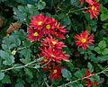 Chrysanthèmes - automne Jardin des Plantes.JPG