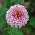 Chrysanthemum - Science City - Kolkata 2012-01-11 8035 Cropped.JPG