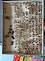 Chrysomelidae collection, Natural History Museum, London 123.jpg