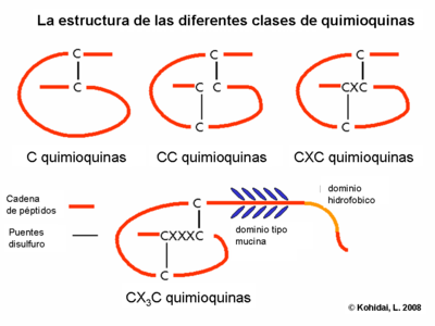 Structure of chemokine classes