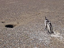 Penguin couple looking after the nest at Punta Tombo