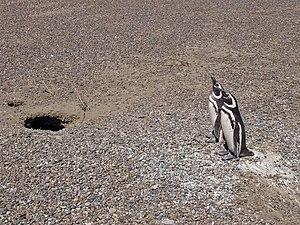 Penguins at Punta Tombo, Chubut