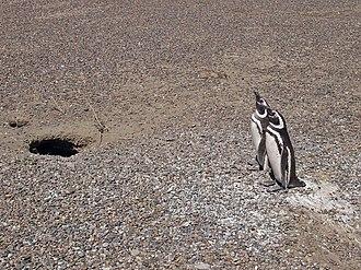 Punta Tombo - A pair of Magellanic penguins protecting their nesting burrow
