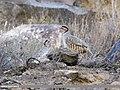 Chukar Partridge (Alectoris chukar) (38180726142).jpg