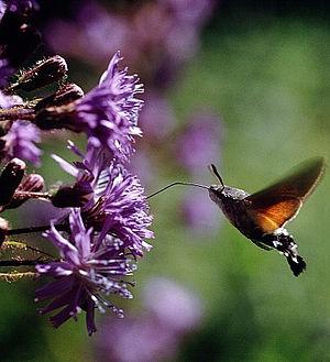Rhön Biosphere Reserve - Hummingbird Hawk-moth feeds on an Alpine Blue-sow-thistle