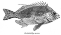 CirrhitichthysAureus.png