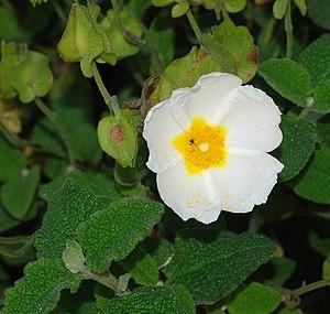 Cistus salviifolius - Image: Cistus April 2008 1