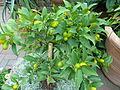 Citrus japonica 'Nagami' - Kumquat.jpg