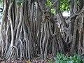 City Botanic Gardens Banyan tree IMG 9189 (2218673982).jpg