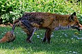 City of London Cemetery, Newham, London England - fox 17.jpg