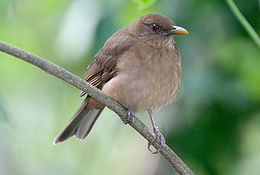Clay-colored Thrush (Turdus grayi).jpg