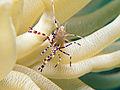 Cleaner Shrimp - Curaçao, Caribbean Sea.jpg
