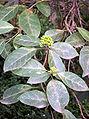 Clerodendrum tomentosum Denistone.jpg