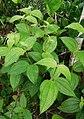 Clidemia hirta (Melastomataceae).jpg