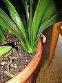 Clivia miniata (003).jpg