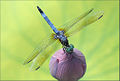 Close up of a dragonfly on a Lotus Flower Bud on green background - IMG 7149 (3755575059).jpg