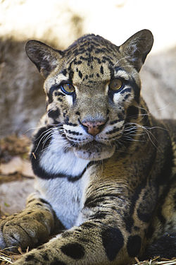Clouded leopard at San Antonio Zoo (October 26, 2011).jpg