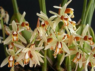 <i>Coelogyne trinervis</i> species of plant
