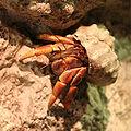 Coenobita clypeatus.jpg