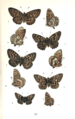 Colemans British Butterflies Plate XI.png