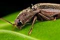 Coleoptera, Elateridae - Intervales São Paulo.jpg