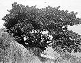 Collectie Nationaal Museum van Wereldculturen TM-10021344 Saba. Coccoloba-uvifera boom op helling. Laddergut Saba -Nederlandse Antillen fotograaf niet bekend.jpg