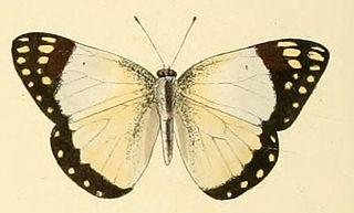 <i>Colotis celimene</i> species of insect
