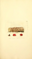 Coloured Figures of English Fungi or Mushrooms - t. 255.png