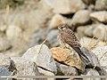 Common Kestrel (Falco tinnunculus) (45435302521).jpg