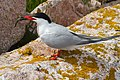 Common Tern With Fish (4856379017).jpg